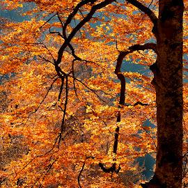 Autumn light by Mikaela Dana - Nature Up Close Trees & Bushes ( tree, autumn, outdoor, nikon, leaves, colours )