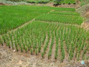 Photo: SRI cultivation, FPAR (Ban Khok, Uttaradit)