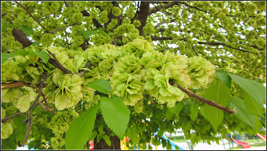 Photo: Ulm  (Ulmus) - din Parcul Teilor - 2019.04.22