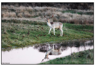 Photo: Nederland - natuur - hert Foto :Bert Morsink