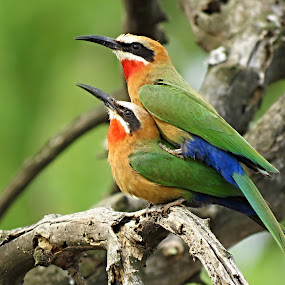 Bee-Eater Pair by Helen Nickisson - Animals Birds (  )
