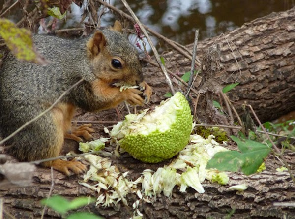 Squirrels enjoy eating the seeds out of the Osage Oranges.  An osage orange is...