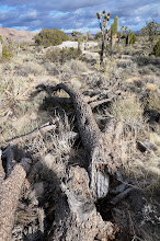 Photo: A fallen Joshua tree