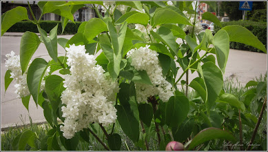 Photo: Liliac  (Syringa vulgaris)  - Turda, Str. Libertatii, spatiu verde - 2019.05.09