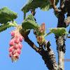 Chapparral currant