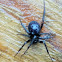 False black widow (female)