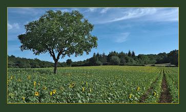 Photo: Tree in Sunflower Field near Rampoux, France