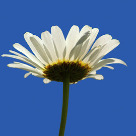Looking Up by Chrissie Barrow - Flowers Single Flower ( single, sky, blue, daisy, wild, flower )