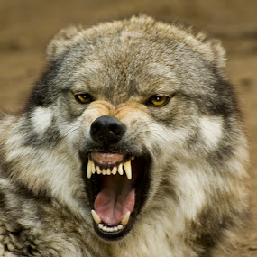Angry Wolf by Bill Frische - Animals Other Mammals