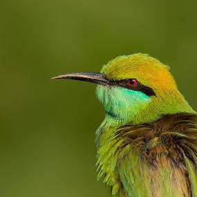 Green Bee-eater by Malay Maity - Animals Birds ( green bee-eater, bird,  )