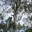 Old Forest Red Gum (c.1550)