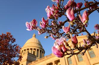 Photo: Arkansas Sate Capitol with Japanese Magnolia