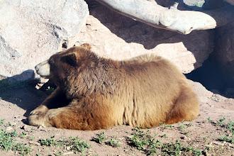 Photo: 07/06/2013 - Bear Country Park, Rapid City, South Dakota - Black Bear