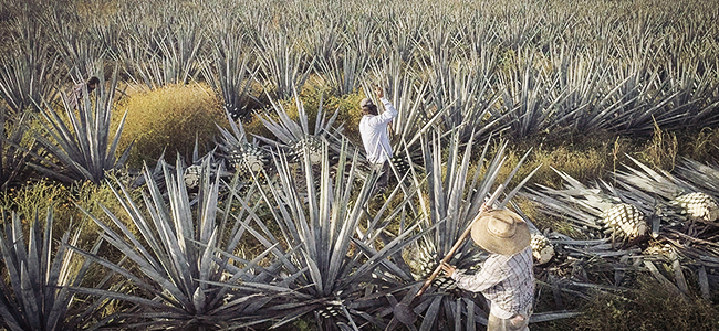 Harvesting Agave For Juan More Time Tequila