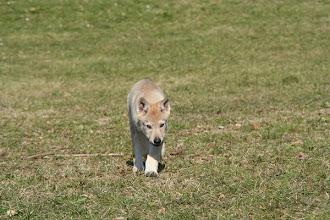 Photo: aisha sibillini wolf