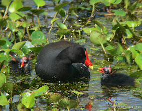 Photo: Commmon Moorhen with chicks, Brazos Bend State Park, east of Houston