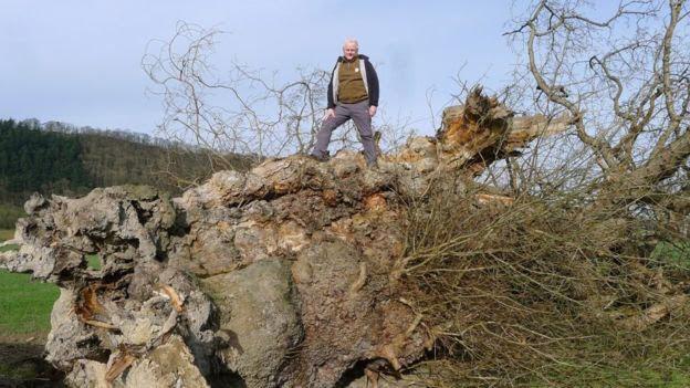 Anger over fallen 1,000-year Oak
