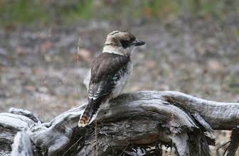 Photo: Kookaburra
