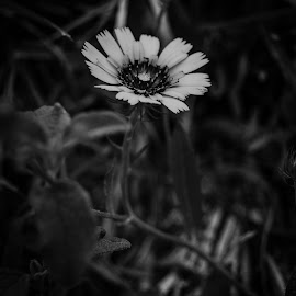 Flores 8 by Carlos Costa - Black & White Flowers & Plants ( aveiro, nature, portugal, wild, flower )