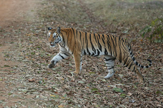 Photo: Ken's other lovely photo of the beautiful tiger crossing the road - magnificent.