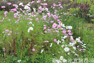 Photo: 拍攝地點: 梅峰-一平臺 拍攝植物: 波斯菊 拍攝日期:2013_09_28_FY