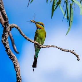 Rainbow Bee-eater by Brent McKee - Animals Birds ( aust, bird, fuji x, qld, kingfisher, dragonfly, rainbow bee-eater )