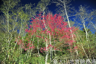 Photo: 拍攝地點: 梅峰-一平臺 拍攝植物: 緋寒櫻 拍攝日期:2012_03_05_Yah