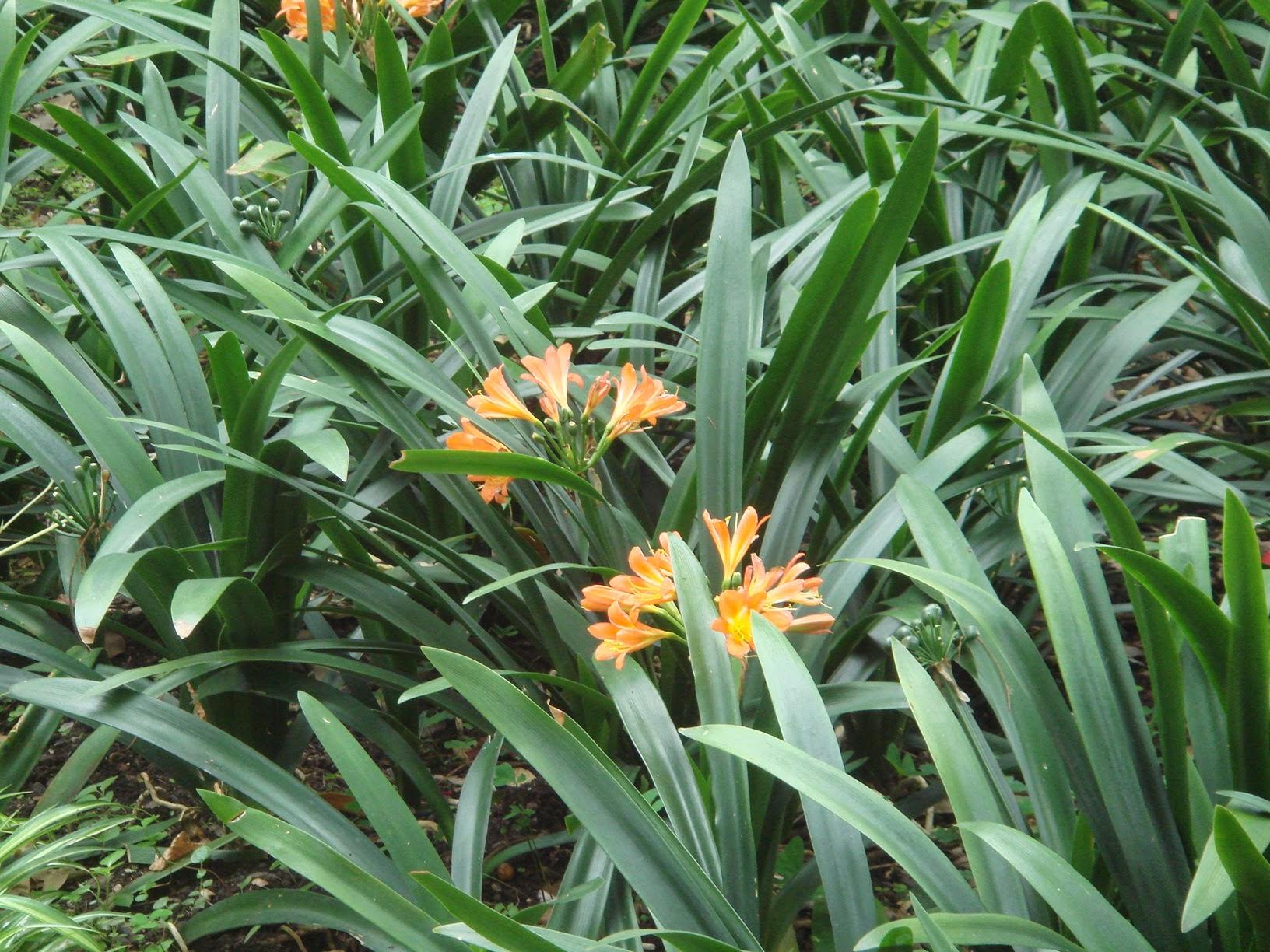 de clivia's bloeien gewoon.