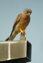 Photo: Grllaio (Falco naumanni) Abbastanza raro, presente dalla primaverea fino a settembre, nidifica in pianura. Nella foto un maschio adulto