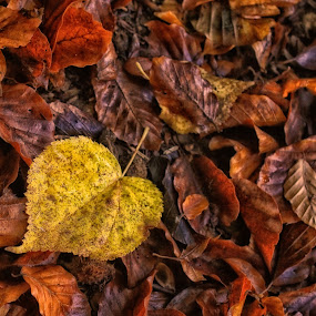 Love fall by Marko Dragović - Nature Up Close Leaves & Grasses ( fall leaves on ground, fall leaves, fall, leave. autumn, colours )