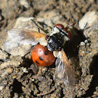 Naked Tachinid Fly