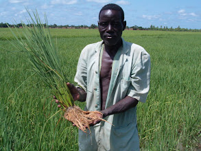Photo: Bourema, who had a yield of 7 tons/hectare in his second season (2007) using the SRI techniques, shows extensive rice root system