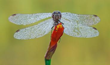 Photo: Sympetrum sp. http://lepidoptera-butterflies.blogspot.fr/