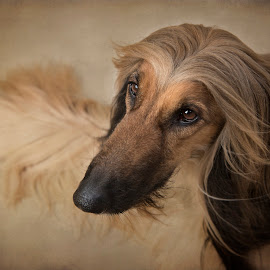 Ozzy by Jude Stewart - Animals - Dogs Portraits ( judithstewartphotography, afghan hound, east sussex, uckfield, portrait, dog, pet, dog portrait,  )