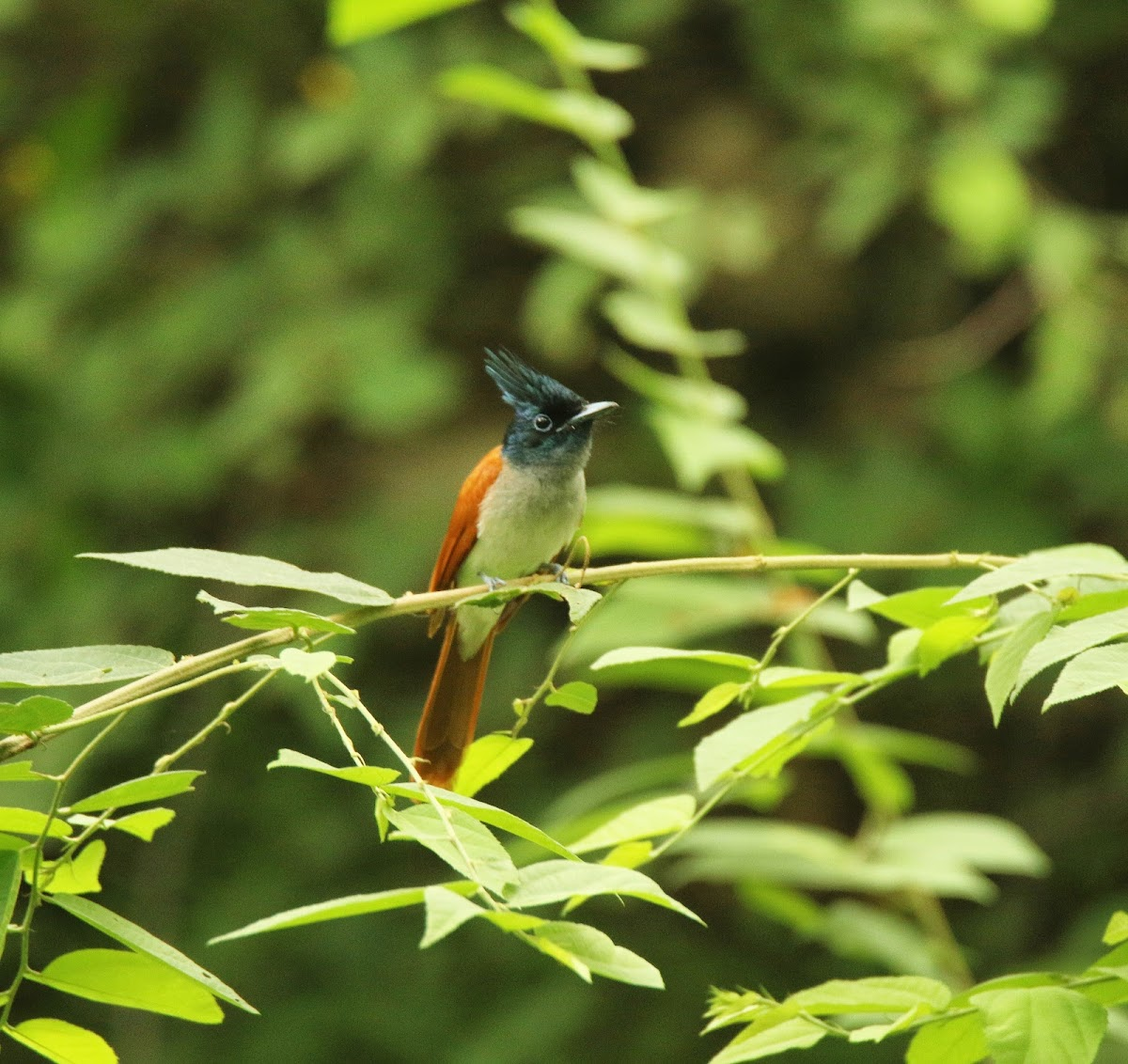 Indian Paradise Flycatcher   ♀