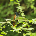 Indian Paradise Flycatcher   ♀