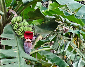 Photo: Banana On The Tree Matale Sri Lanka Flowers Spices & Fruits At Bawa's Place Matale Sri Lanka by Lou Wilson http://www.youtube.com/watch?v=nvgc_SYJgeY&list=UUOWXy3pH6EQJsCMU4_wseBA&index=4&feature=plcp