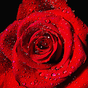 Wet Rose by Hu Mi - Nature Up Close Flowers - 2011-2013 (  )