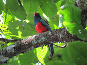 Photo: Slaty-tailed Trogon