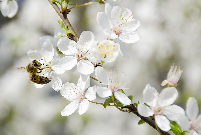 L'ape al lavoro di Wilmanna