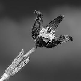 Anémone n00110 by Gérard CHATENET - Black & White Flowers & Plants