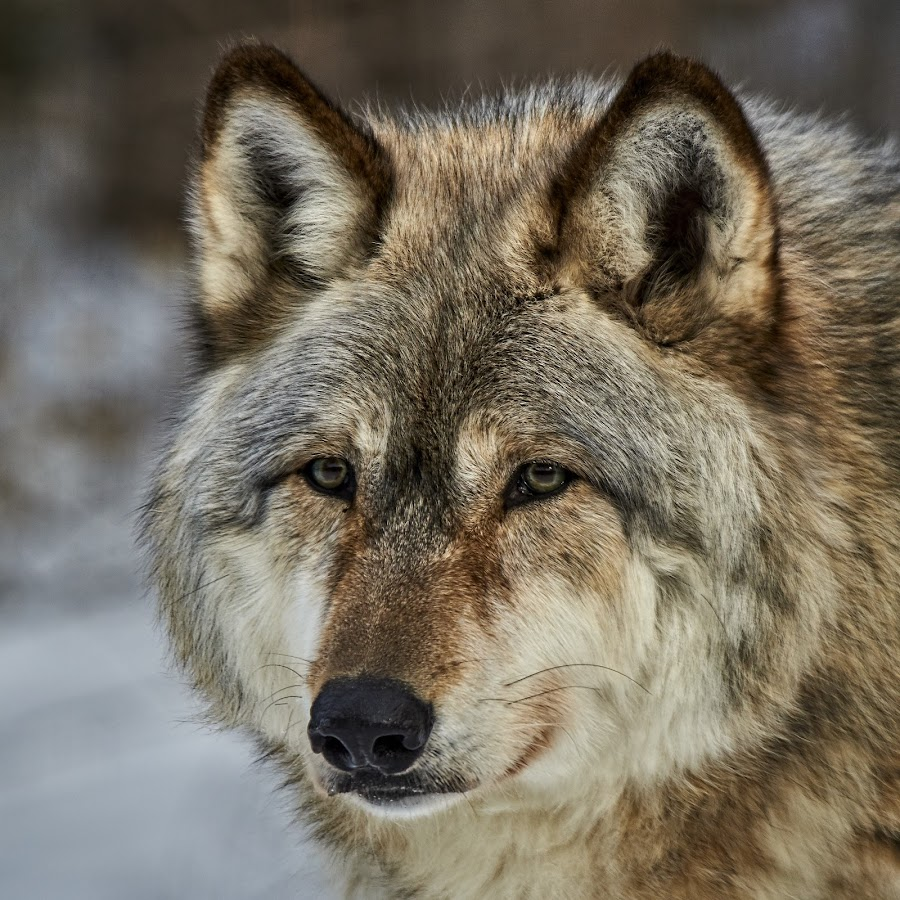 I See You by Mike Woodard - Animals Other Mammals ( wild, timberwolf,  )