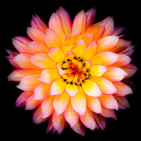 Happy Mother's Day by Garry Dosa - Flowers Single Flower ( plant, may, macro, dainty, pink, yellow, exquisite, dahlia, flower,  )