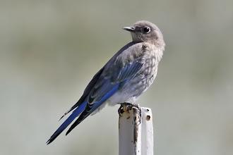 Photo: Mountain Bluebird