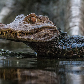 My, What Big Teeth You Have. by Craig Pifer - Animals Reptiles ( oregon zoo, water, animals, zoo, scales, caiman, crocodile, paleosuchus palpebrosus, dwarf caiman, reptile )