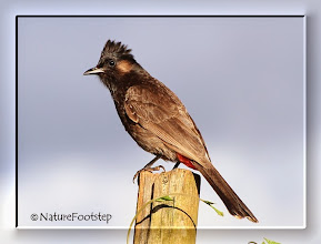 Photo: Red-vented Bulbul - Pycnonotus cafer  © NF Photo 130815 Dole Plantation, Oahu, Hawaii http://nfbirdworld.blogspot.se/2014/04/red-vented-bulbul-pycnonotus-cafer.html