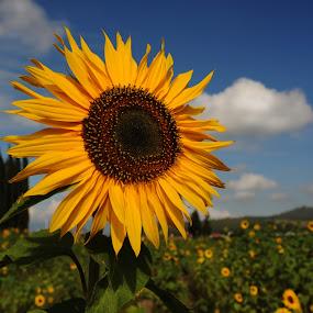 Great sunflower by Cristobal Garciaferro Rubio - Nature Up Close Flowers - 2011-2013 ( field, clouds, sunflower, flowers, flower, sun )