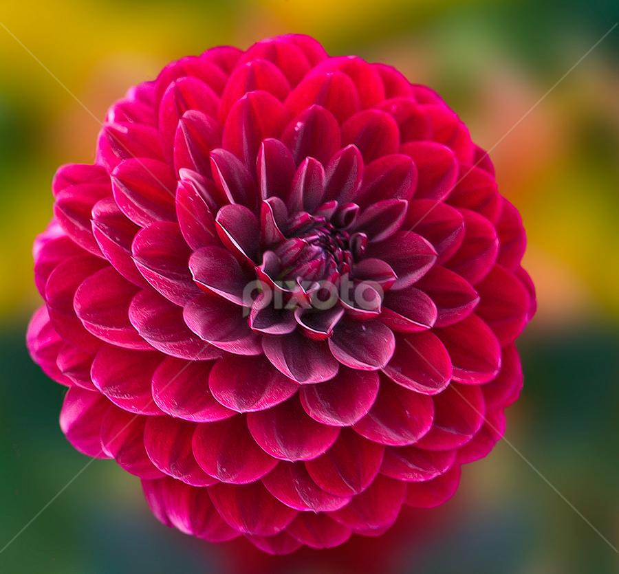 by Carl Sieswono Purwanto - Flowers Single Flower (  )