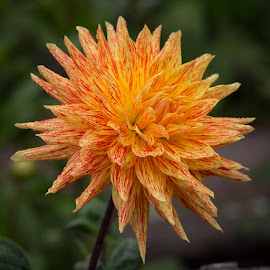 Yellow And Orange by Janet Marsh - Flowers Single Flower ( orange, dahlia, yellow )