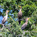 Double-crested Cormorants - immature